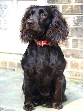 Boykin Spaniel dog